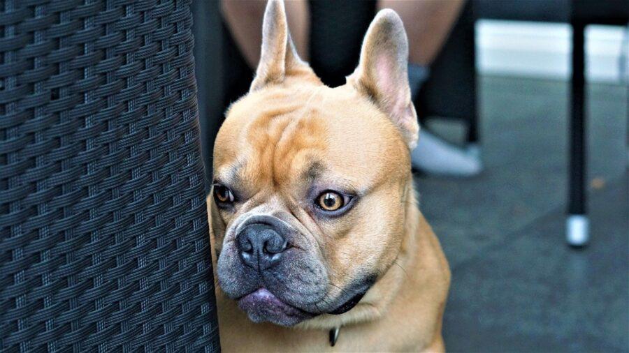 cane bulldog francese