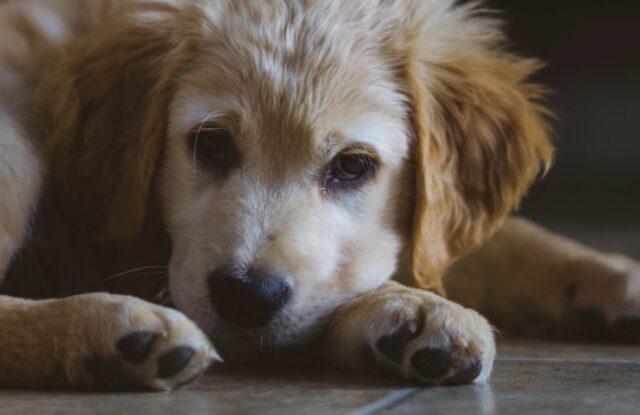cucciolo golden retriever