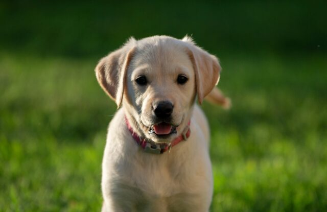 cane piccolo dolce