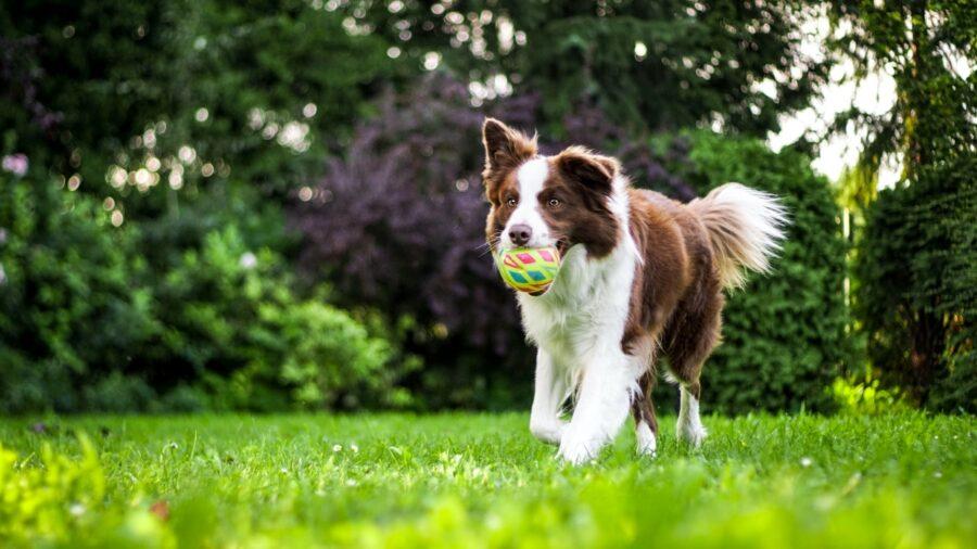 cagnolino palla gioca