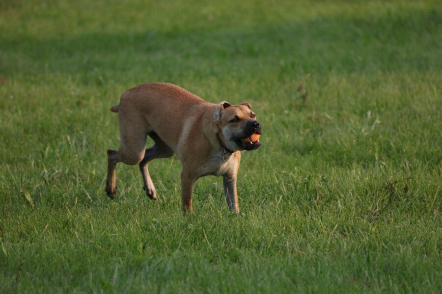 cane pallina prato