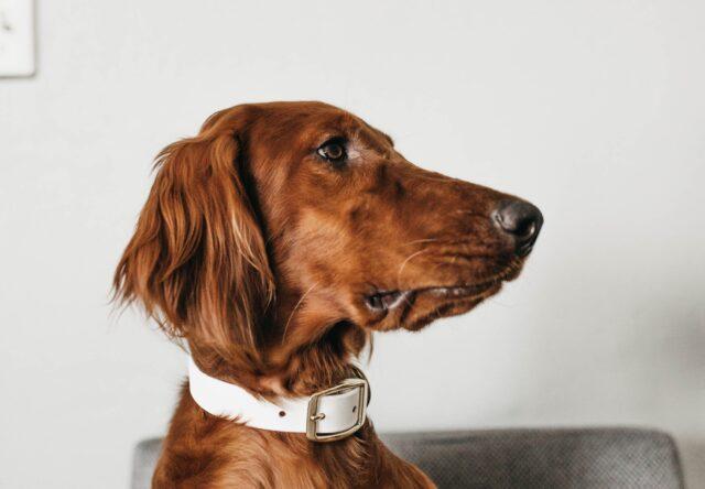 cane dolce profilo