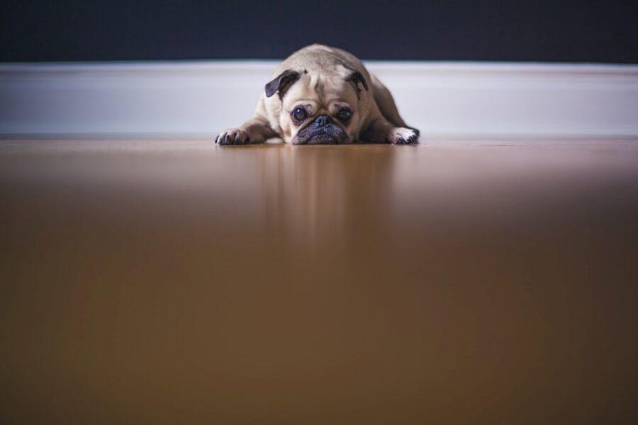 cane triste muso