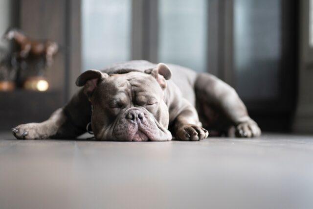 cane bulldog americano