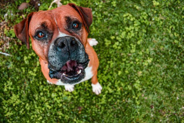 cucciolo boxer erba