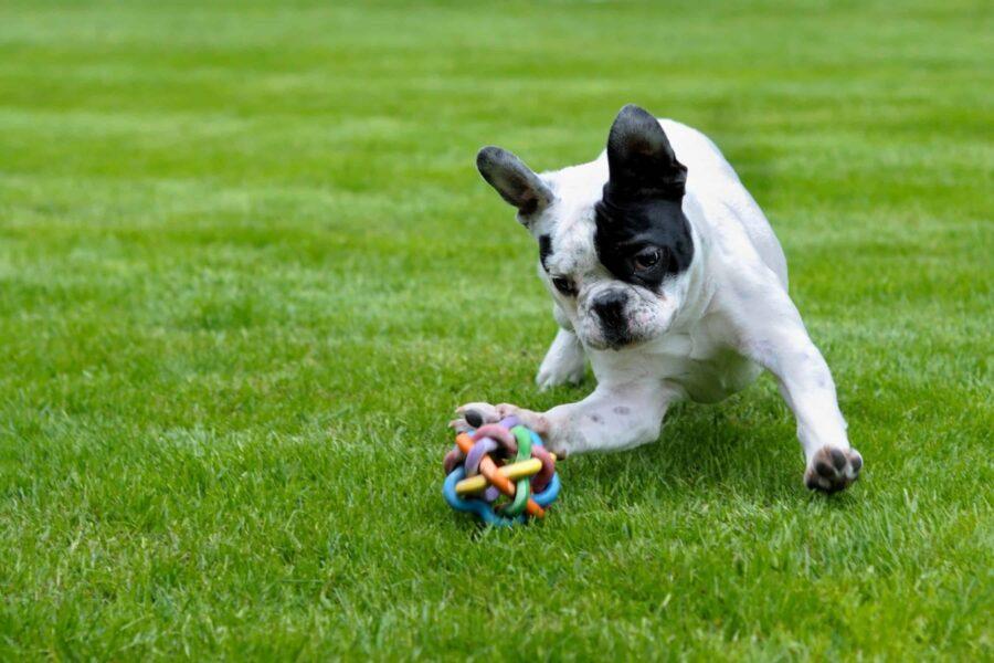 bulldog francese corre
