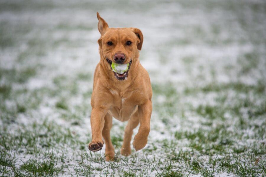 cucciolo pallina correre