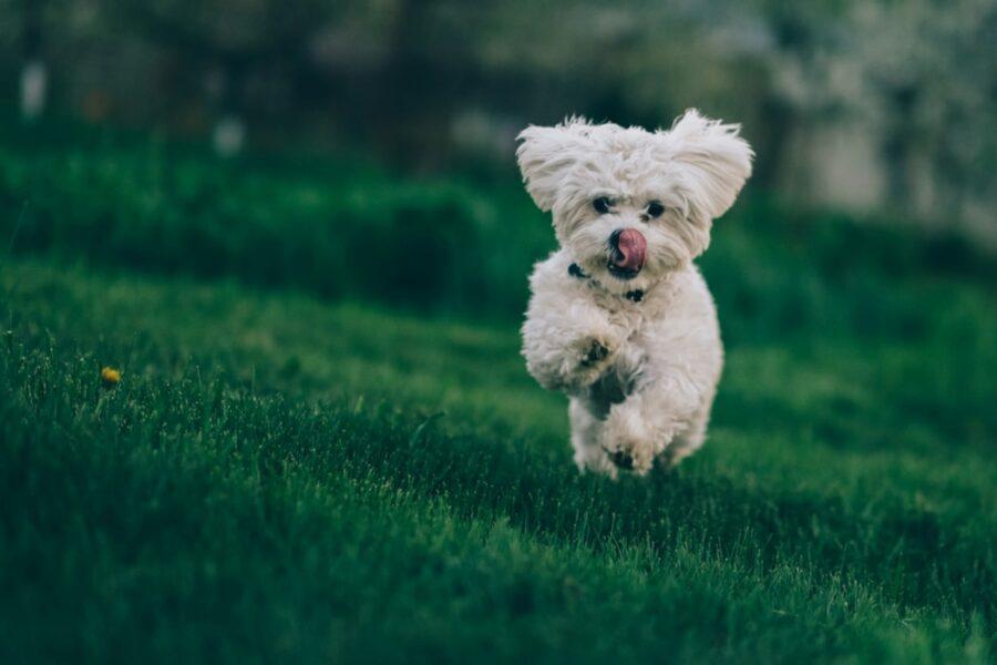 cane corsa felice