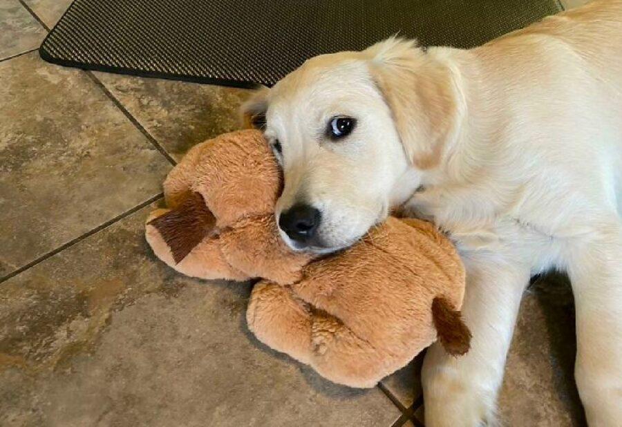 cane labrador con pupazzo