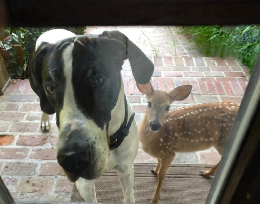 cane alano porta amico a casa