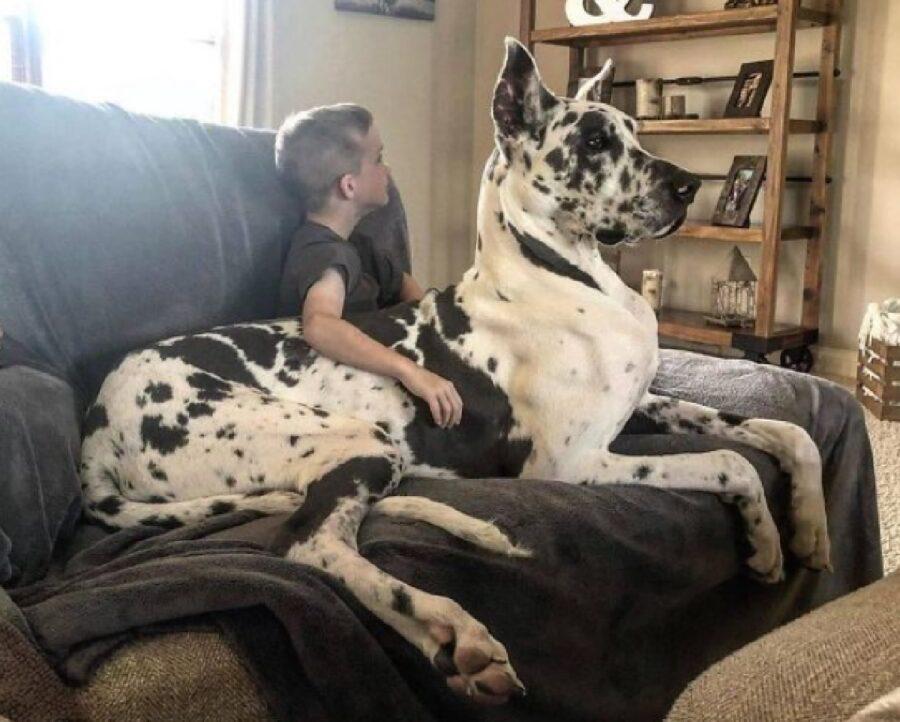 cane alano seduto su divano