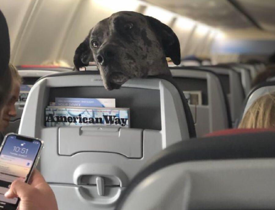 cane alano sale sull'aereo