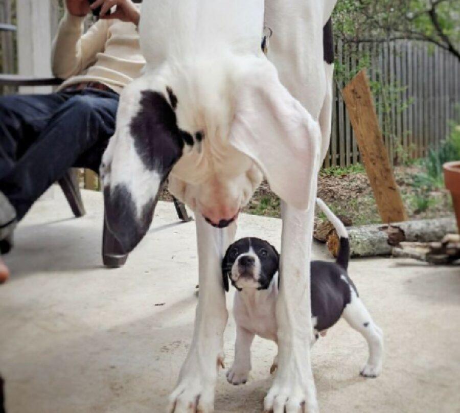 cane gigante guarda cane più piccolo