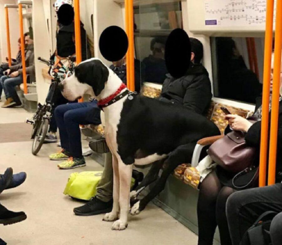 cane alano seduto sulla metro