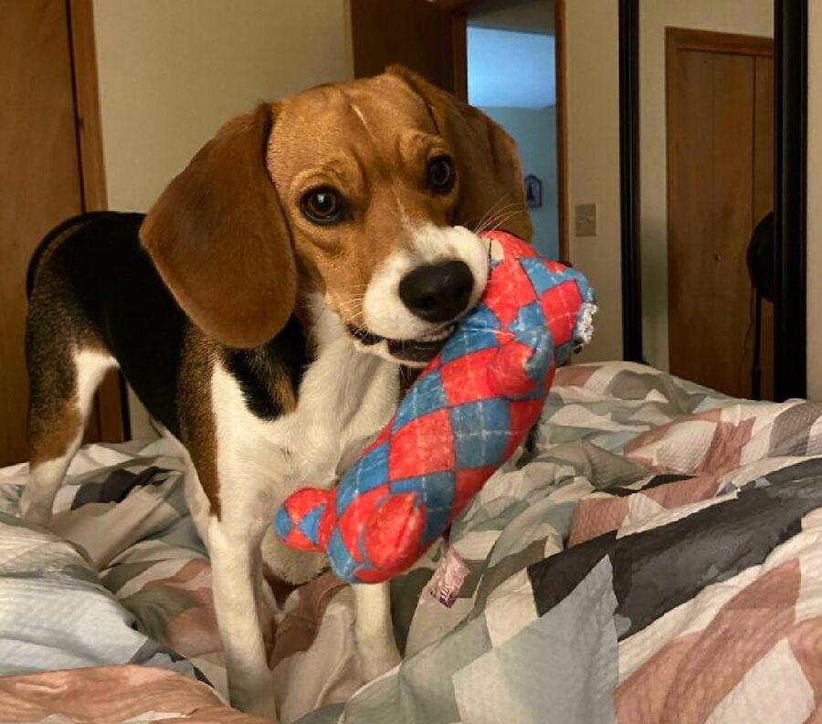 cane beagle con pupazzo blu rosso