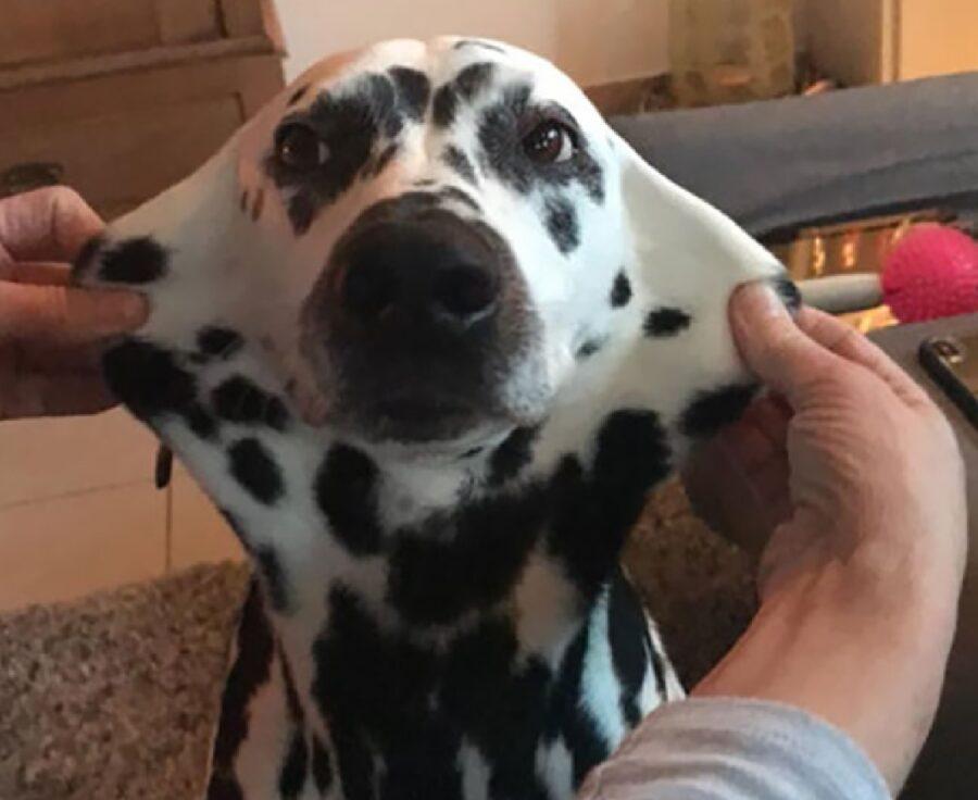 cane dalmata bianco e nero