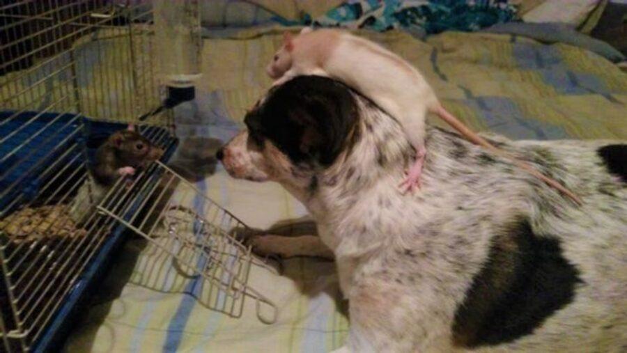 cucciolo topi testa