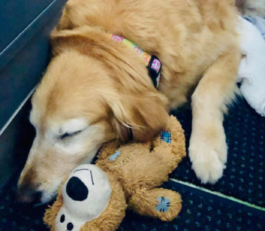 cane golden con pupazzo