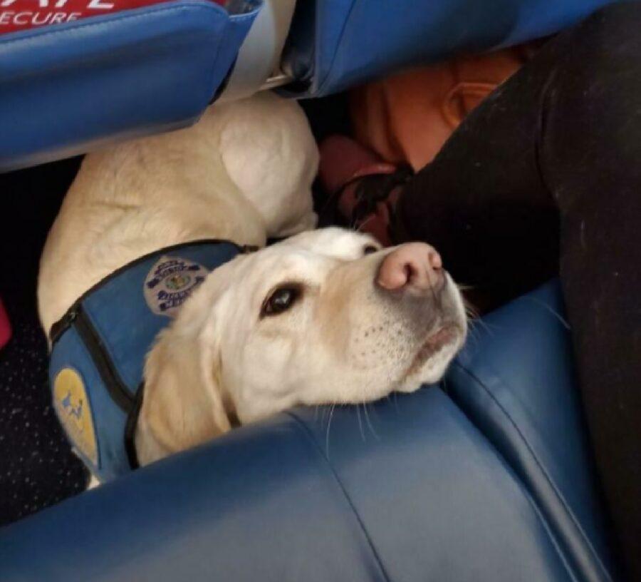 cane labrador guida