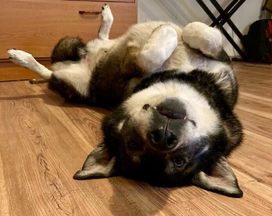 cane pancia in su felice