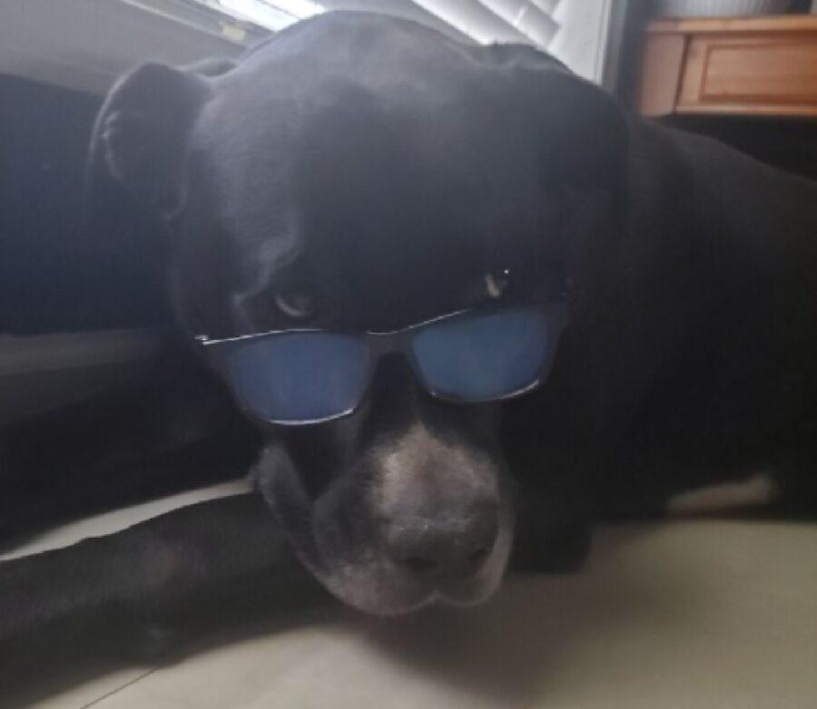 cane con occhiali abbassati