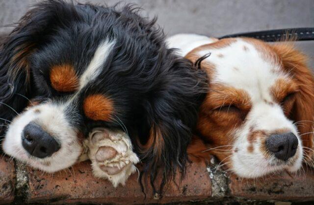 cani che dormono come mai prima d'ora