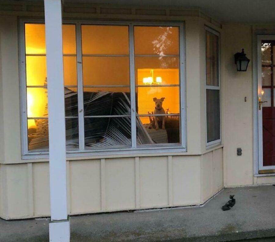 cane rompe copertura finestra