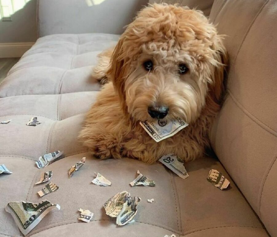 cane strappa denaro dollari