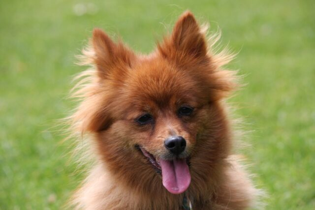cane dolce arancione