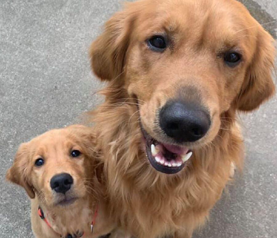 cani coppia golden pelo scuro