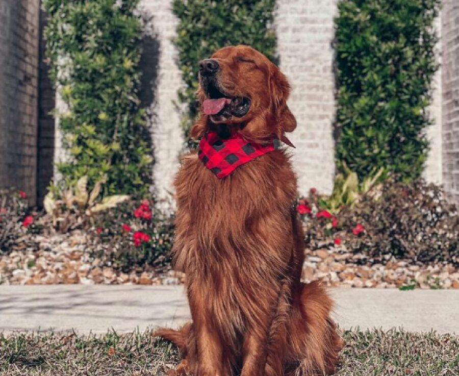 cane golden bandana rossa