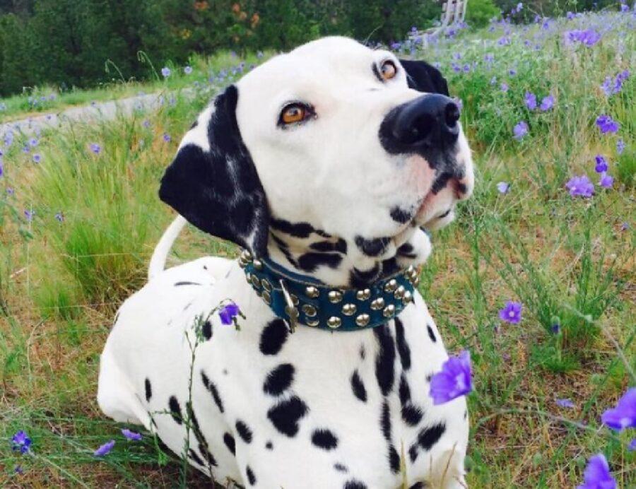 cane dalmata collare blu