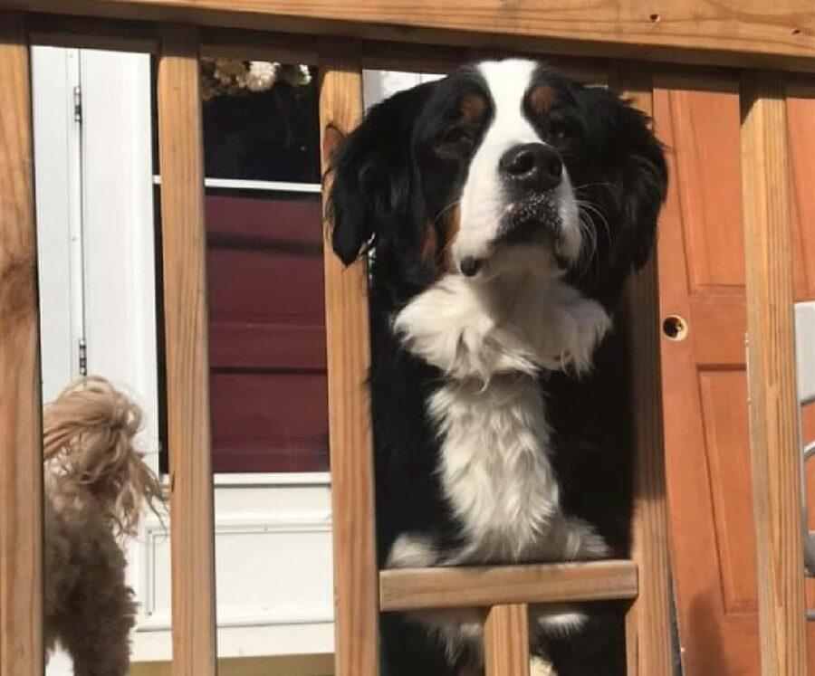 cane sbarra tolta per affacciarsi