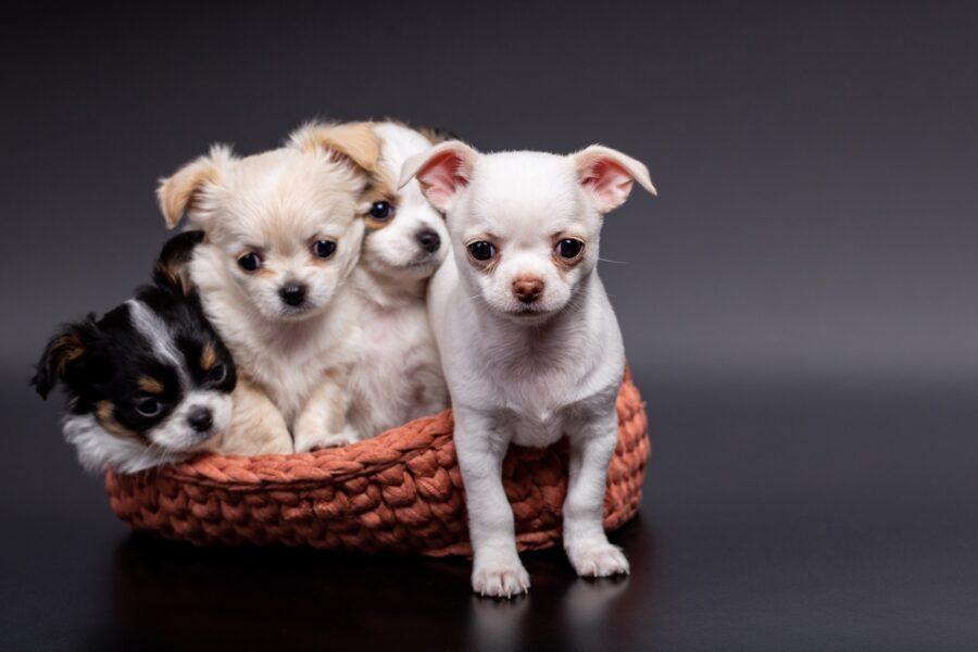 cuccioli di cane in un cesto
