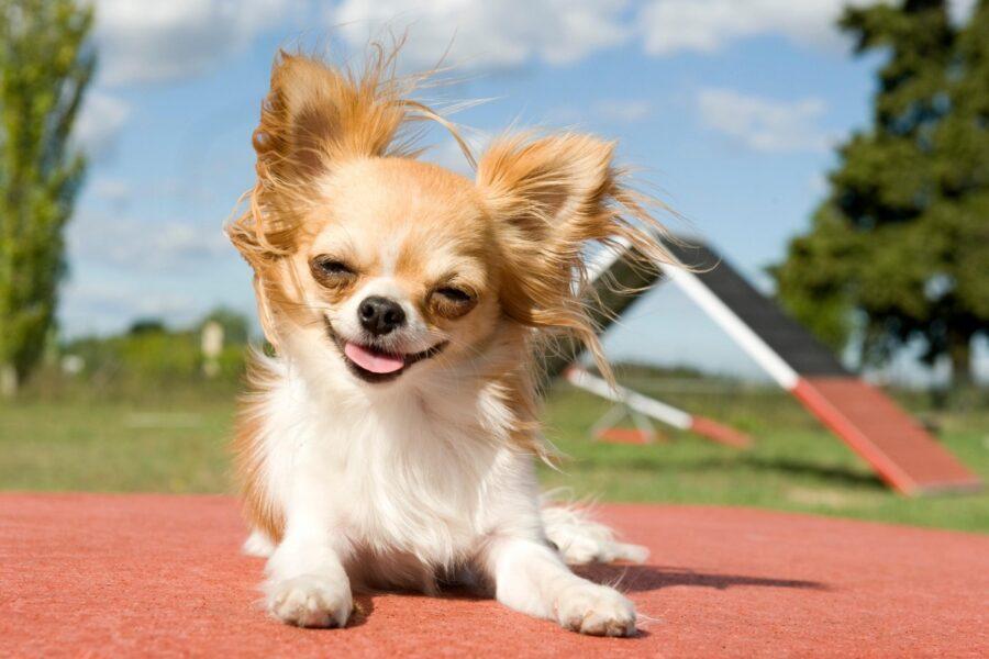 cane in addestramento