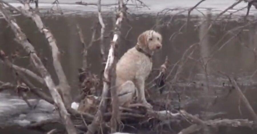 Goldendoodle salvato nel fiume Charles a Boston