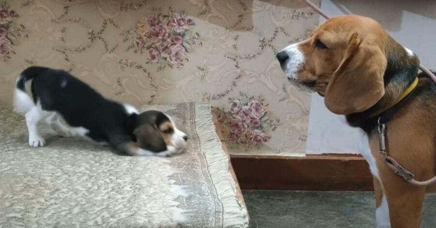 coppia di cani che gioca
