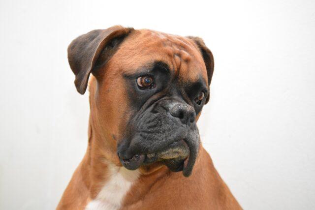 Boxer marrone primo piano