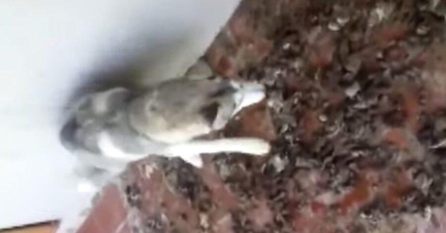 Husky fra gli escrementi