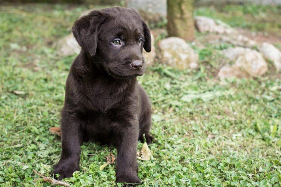 cucciolo di cane cioccolato