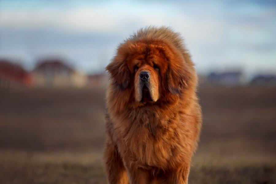 cane con il pelo molto lungo