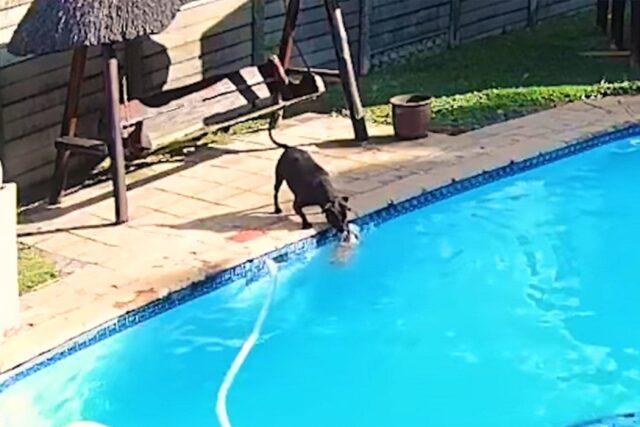 rottweiler rischia di annegare