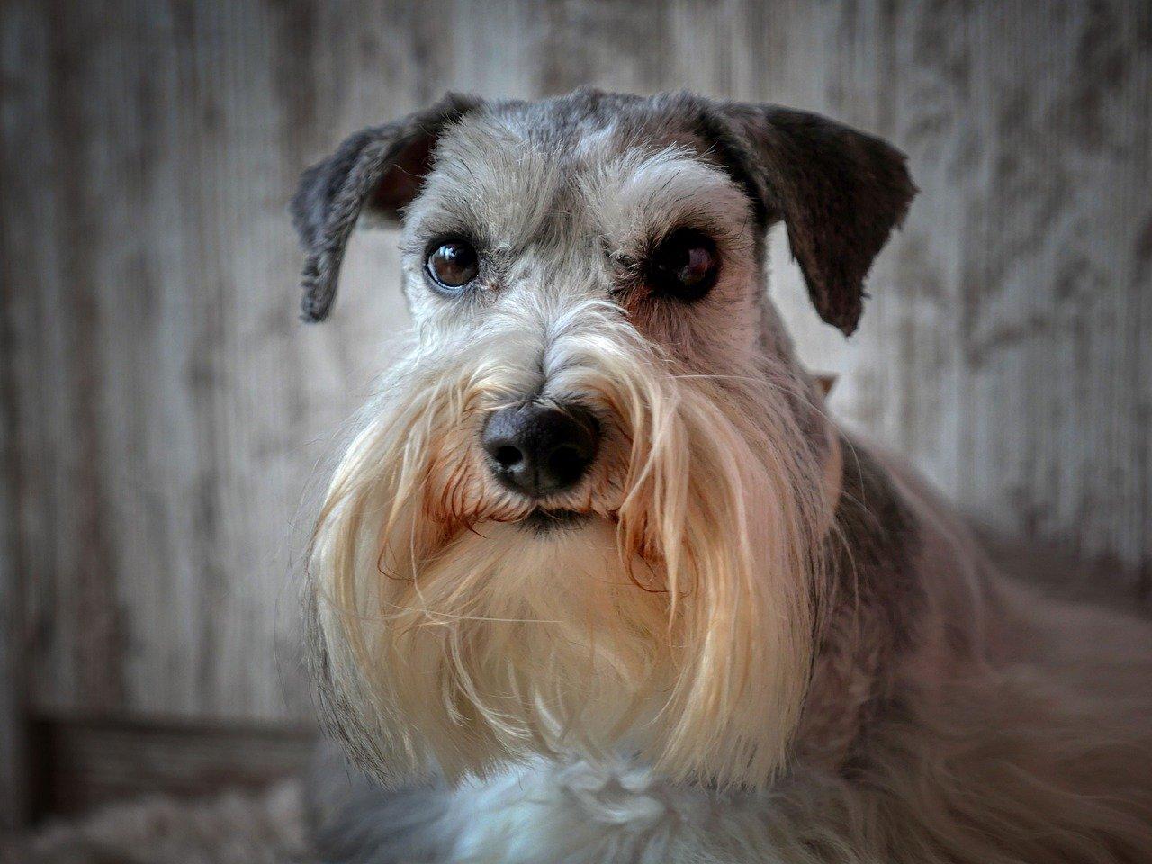 Schnauzer barba lunga