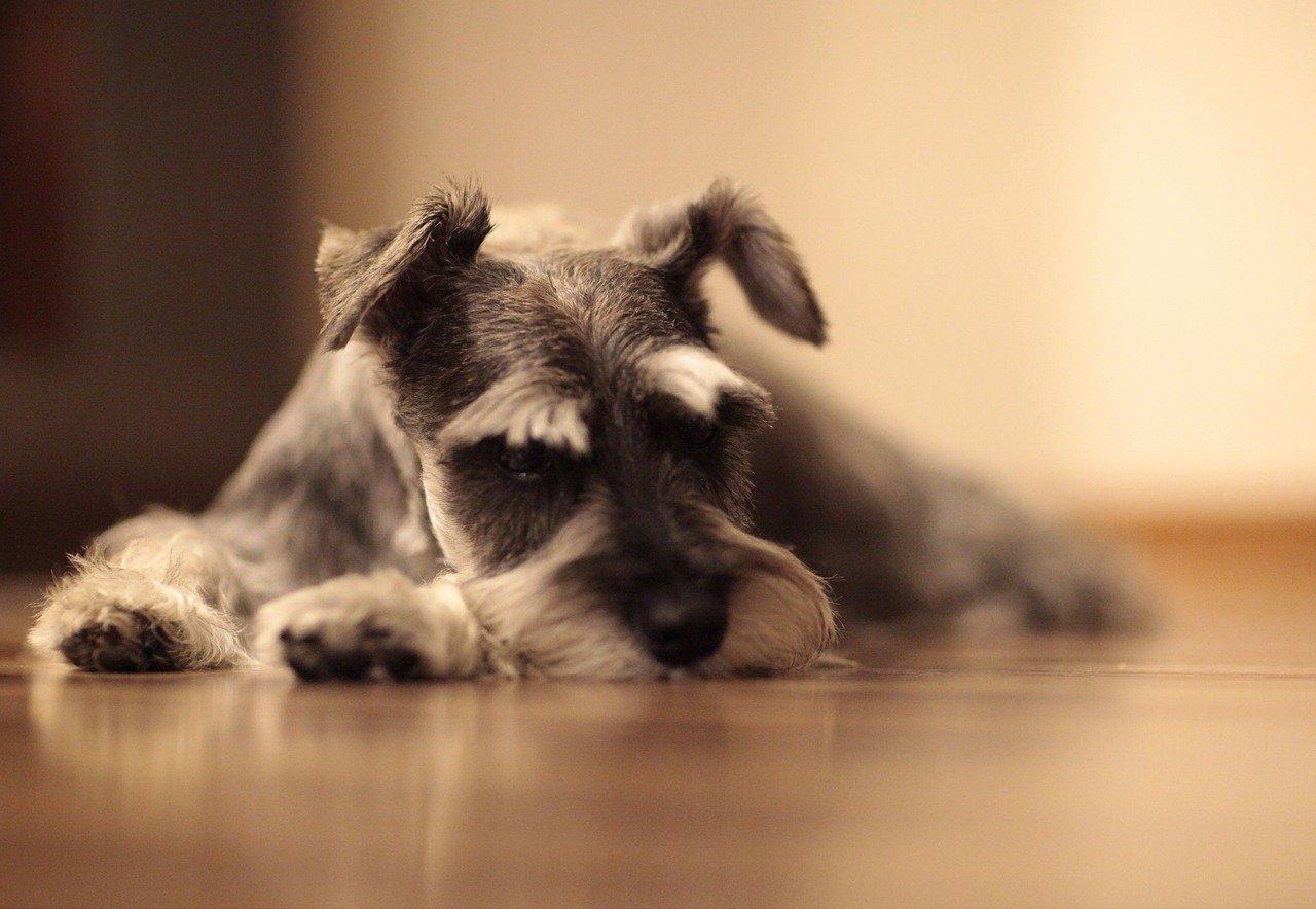 Schnauzer sdraiato sul pavimento