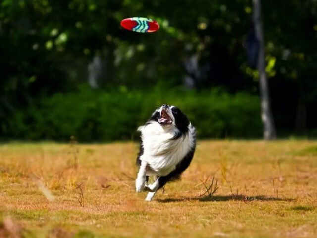 cane insegue frisbee