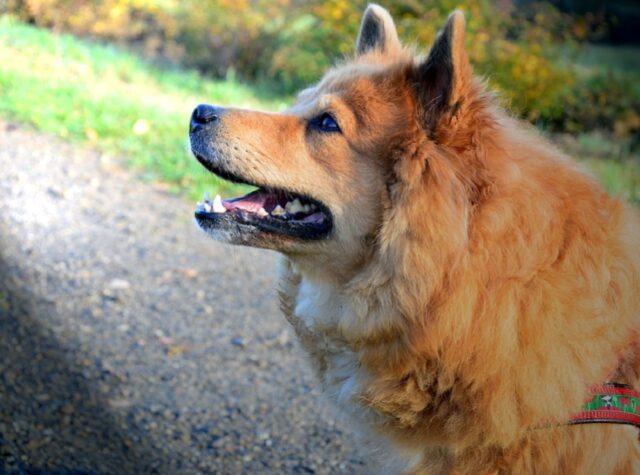 cane volpino smarrito nel nulla