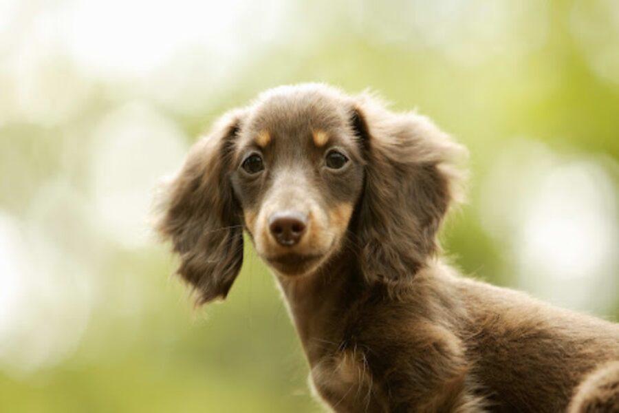 cane bassotto a pelo lungo