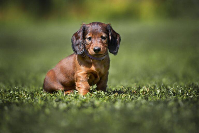 cucciolo di cane bassotto