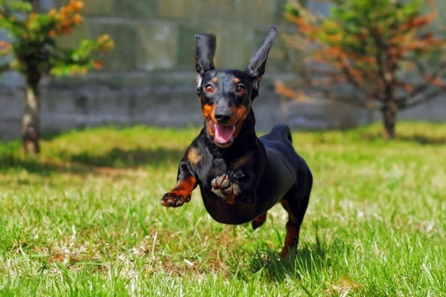 cane euforico