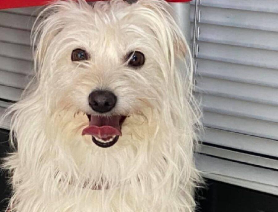 cane sorridente pelo candido